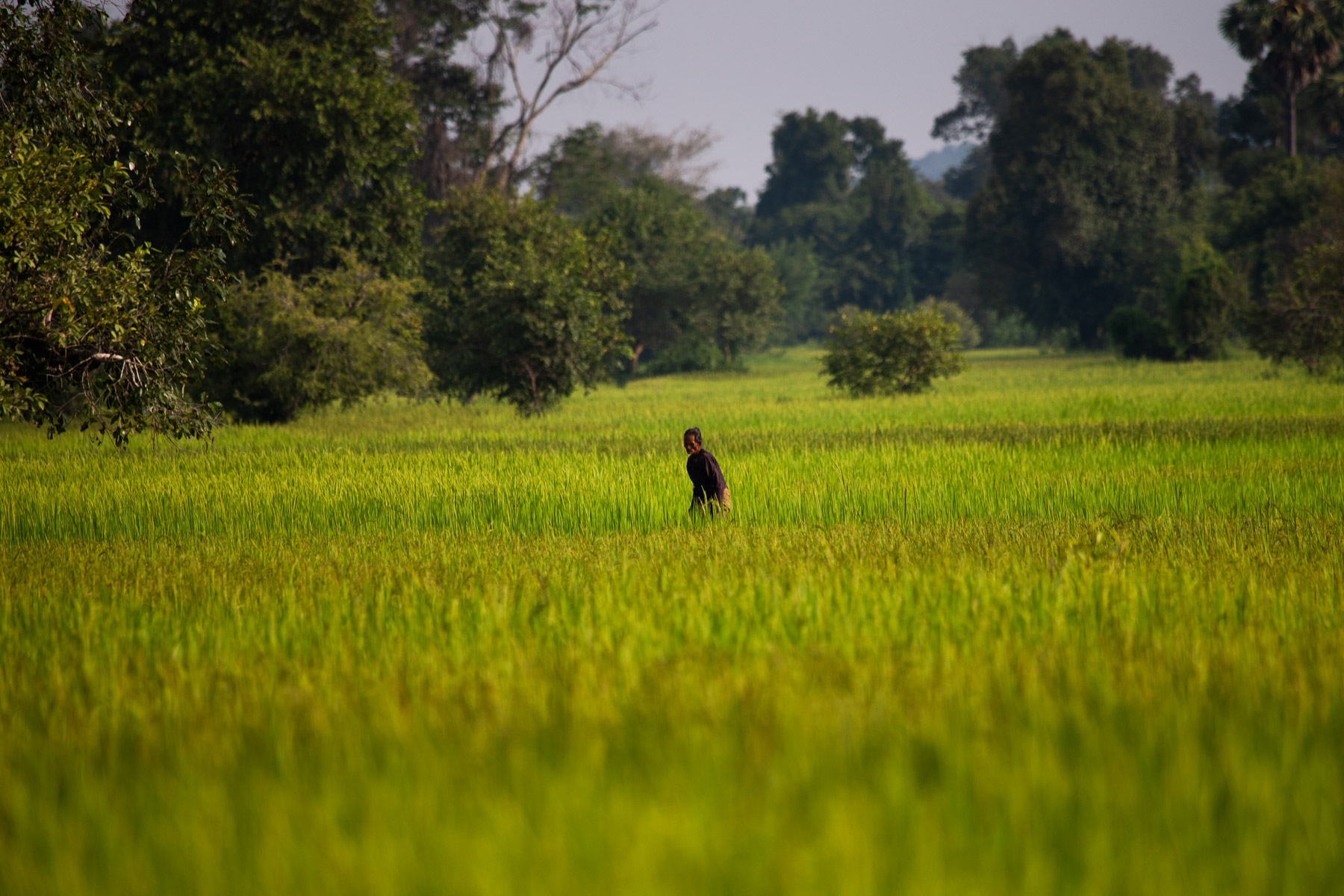 Old man in rice field